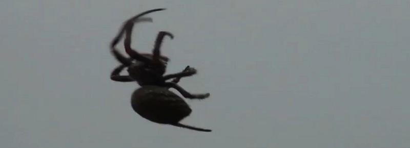araignée brésil