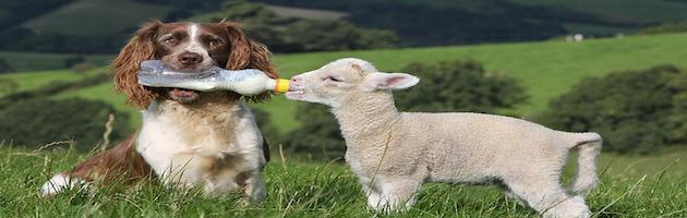 jess biberon agneaux